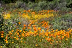 Profusion of godlen California Poppies grown wild. An abundance of blooming California poppies and yellow wildflowers grown in a green meadow or field stock photos