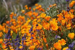 Profusion of godlen California Poppies grown wild. An abundance of blooming California poppies and yellow wildflowers grown in a green meadow or field stock images