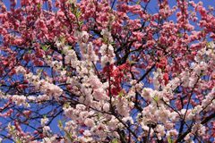 Abundance of blossoming branches Stock Image