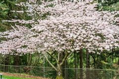 Spring Cherry Blossoms Profusion. An abundance of blossoms adorn this Cherry tree in Spring royalty free stock photography