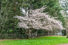 Spring Cherry Blossoms Profusion 2. An abundance of blossoms adorn this Cherry tree in Spring stock images