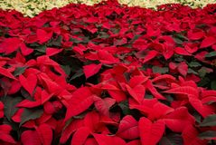 Field red and white poinsettia Christmas plants. Abundance Christmas poinsettias. Red and white flowers royalty free stock image