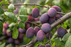 A lot of of damson plums. Large quantity of damson plums hanging on a tree royalty free stock images