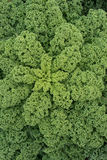 An Abundance of Green Curly Kale. Overhead shot of green curly kale in abundance Stock Images