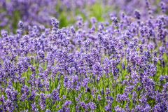 An Abundance of Lavender. A full frame photograph of an abundance of lavender, with a shallow depth of field royalty free stock photography