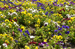 Abundance of pansies. Abundance of multicolored flowers - pansies in the Park Royalty Free Stock Photography