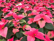 Abundance of pink flower and poinsettias stock photos