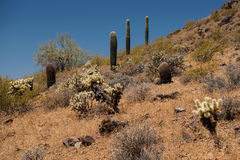 Abundance of plant life at Phoenix Sonoran Preserve. A hill at the Sidewinder Trail of the Phoenix Sonoran Preserve highlights an abundant diversity of plants royalty free stock photos