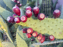 Abundance of Prickly Pears Stock Image