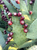 Abundance of Prickly Pears Royalty Free Stock Photography