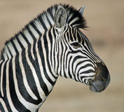 Abundance of stripes. Stock Photography