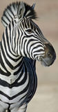 Abundance of stripes. Royalty Free Stock Photography