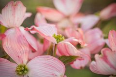 An abundace of Flowering pink Dogwood blossoms Royalty Free Stock Photos