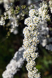 Abundant bloom of snow-white spiraea: flowers and buds of spirea. Decorative plants in the botanical garden. Abundant bloom of snow-white spiraea: flowers and Royalty Free Stock Photography