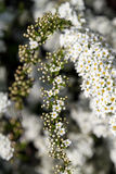 Abundant bloom of snow-white spiraea: flowers and buds of spirea. Decorative plants in the botanical garden. Abundant bloom of snow-white spiraea: flowers and Stock Photography