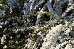 Abundant bloom of snow-white spiraea: flowers and buds of spirea. Decorative plants in the botanical garden. Abundant bloom of snow-white spiraea: flowers and Royalty Free Stock Image