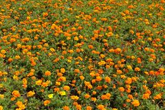 Abundant orange flowers of Tagetes patula in summer. Abundant bright orange flowers of Tagetes patula in summer royalty free stock photos