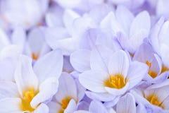 Abundant crocus blossoms Stock Image