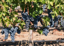 Abundant crop of grapes Stock Photography