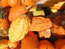 Abundant fall pumpkin harvest Royalty Free Stock Image