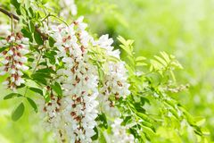 Abundant flowering acacia branch of Robinia pseudoacacia. White acacia flowering in a sunny day. Abundant flowering acacia branch of Robinia pseudoacacia stock images