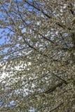 Abundant flowering of apple trees in spring in the park royalty free stock image