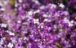 Abundant flowering of Erysimum albescens Royalty Free Stock Photo