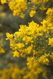 Abundant flowering of Genista microphylla, broom species endemic. To Gran Canaria, natural floral background stock photography
