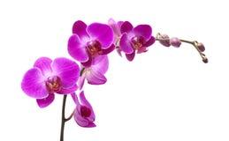 abundant flowering of magenta phalaenopsis Royalty Free Stock Photo