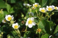 Abundant flowering strawberries. Some beautiful white flowers strawberries, sun-lit, close-up Stock Photography