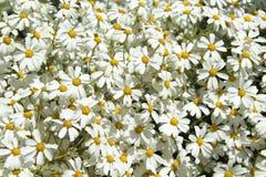 Abundant flowering of Tanacetum ptarmiciflorum Royalty Free Stock Images