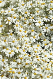 Abundant flowering of Tanacetum ptarmiciflorum Royalty Free Stock Photos