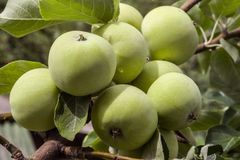 Abundant harvest of green apples on apple tree branch. Selective focus stock photo