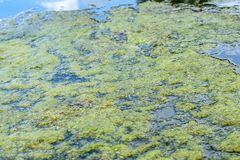 Abundant layer of flowering duckweed on the surface of the pond