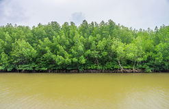 Abundant mangrove and swamp forest in brackish river Stock Photography