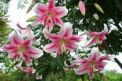 Abundant Orienpet lilies nod on tall stalks. These magnificent `Anastasia` lilies grow on stalks up to seven feet tall. One such plant perfumes an entire garden royalty free stock photo