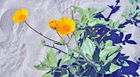 Anza-Borrego Desert: Springtime Color. With an abundant rainy season in 2017 colorful desert wild flowers sprung up in the arid Anza-Borrego desert in Southern stock photo