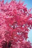 Abundant rich pink bloom of Prunus tree. Against blue sky Stock Photography