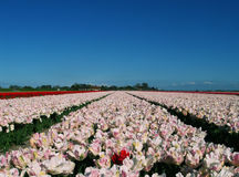 Abundant tulip field Stock Images