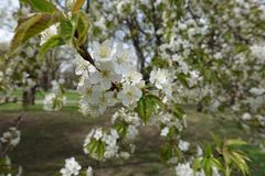 Abundant white flowers of cherry in spring. Abundant white flowers of cherry tree in spring stock photos