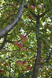 Abundante frutuoso Foto de Stock Royalty Free