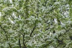 Abundantly blooming branches of fruit tree with white flowers. Spring background. Spring, seasons, gardening and ecology royalty free stock image
