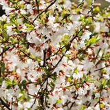 Abundantly blooming cherry. In the bright sun, a lot of light, great contrast, a lot of flowers in the frame royalty free stock photos