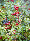 Abundantly fruiting bilberry Royalty Free Stock Photos