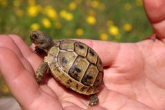 aburiginal乌龟 免版税库存照片