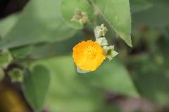 Abutiloides Abutilon Стоковое Изображение RF