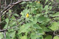 Abutiloides Abutilon Стоковая Фотография