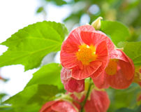 Abutilon Stock Photography