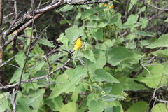 Abutilon abutiloides. Or shrubby Indian mallow is an perennial plant in the Malvaceae family. Identifiers are the velvety leaves (sometimes called velvet leaf) Stock Photography
