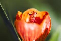 Abutilon arancio Fotografia Stock Libera da Diritti